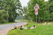 Ducks walking at railway crossing background