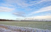 picture of geese flying  - Flock of geese flying over a snowy field in winter - JPG