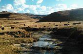 Cattle in the Drakensburg