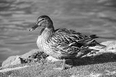Female Mallard Standing By The Water