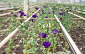 Blooming Lisianthus Plants In A Greenhouse