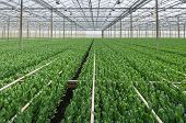 Budding Lisianthus Plants In A Greenhouse Farming Business