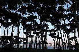picture of pinus  - Stone pines  - JPG