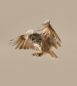 picture of owl eyes  - A well lit studio shot of an eagle owl in flight coming in to land