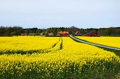 pic of red barn  - Swedish village with red barns and blossom rapeseed field at the island Oland - JPG