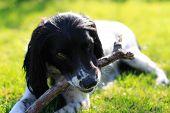 foto of nose drops  - Portrait of a playful Springer Spaniel pet dog basking on vibrant green grass in the sun light - JPG