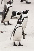 pic of jackass  - A group of South African penguins on a beach - JPG