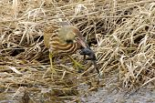 bittern and bullfrog