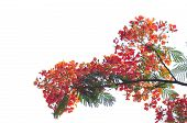 foto of royal botanic gardens  - Royal Poinciana isolated on white background in garden - JPG