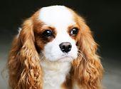 King Charles Spaniel Portrait
