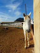 picture of stable horse  - The white horse standing in stable in front - JPG
