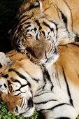 picture of tigress  - Two great and beautiful siberian tigers sleeping - JPG
