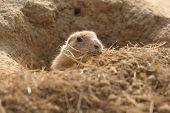 pic of prairie  - photo of a cute little prairie dog collecting bedding - JPG