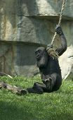 Gorilla Baby Having Fun