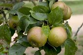pic of apple orchard  - apples on an apple tree in dordogne france - JPG