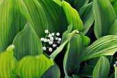 stock photo of day-lilies  - lily of the valley blossoms and leaves - JPG