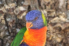 pic of lorikeets  - The rainbow lorikeet (Trichoglossus moluccanus) is a species of parrot found in Australia ** Note: Soft Focus at 100%, best at smaller sizes - JPG
