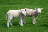 Lamb Siblings