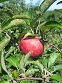 Apple On A Apple Tree