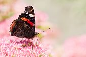 Butterfly Red Admiral On Sedum Flowers