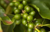 Coffee Beans on the Branch in Kauai, Hawaii