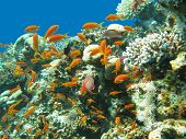 Coral Reef With Shoal Of Fishes Scalefin Anthias, Underwater poster