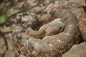 Western Diamondback Rattlesnake Resting in the Warm Sun.