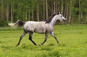 Running Arabian Horse