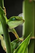 foto of night crawler  - Anole lizard sleeping - JPG