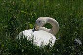 Tired Wihte Goose