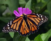 Spread Monarch