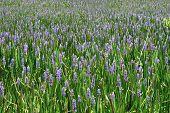 A sea of purple wildflowers. Background.