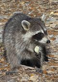 A racoon eating a potato chip.