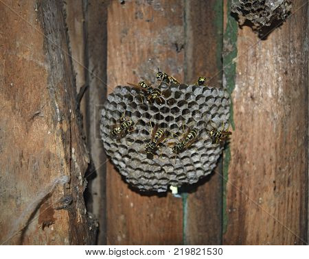 Wasp nest with