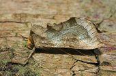 Burnished Brass Moth