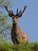 Veado majestoso veado-vermelho