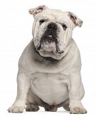 English Bulldog, 14 months old, sitting in front of white background
