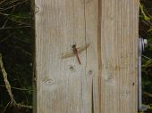 Red Marsh Fly