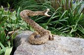 Sunning Snake