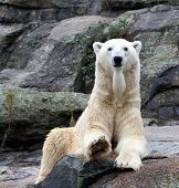 picture of polar bears  - Portrait of a Polar Bear seen here in a full body portrait - JPG