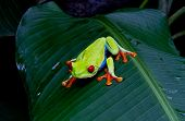 Red eyed tree frog front