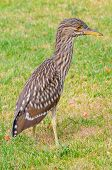 Closeup of an immature Black-Crowned Night Heron (Nycticorax nycticorax) standing in a grass field.