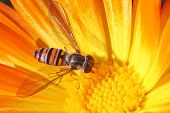 Hoverfly On The Calendula
