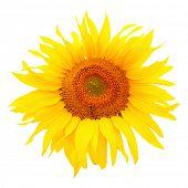 foto of biodiesel  - Sunflower  - JPG