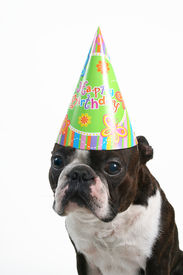 foto of birthday hat  - a boston terrier with a birthday hat on - JPG