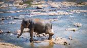 Young Asian Elephants At Pinnawala Elephant Orphanage, Sri Lanka Here Is Nursery And Captive Breedin poster