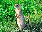 A curious and suspicious prairie dog