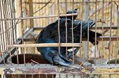 A Blind Crow Is Trying To Break Free From This Hell Cage.