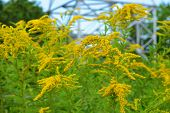 Bright Shrubs With Yellow Flowers, A Giant Golden Rod With Interesting Bloom, Solidago Gigantea, Tal poster
