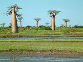 Group Of Baobabs